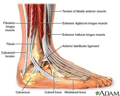 Anatomía del pie y el tobillo – La guarida de la Grulla
